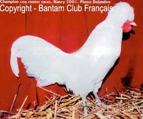 poules hollandaise huppées grandes race